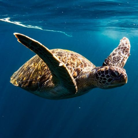 Offshore Fishing SeaLife - Loggerhead Turtles